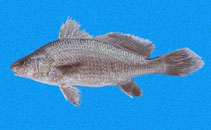 Image of Ophioscion strabo (Squint-eyed croaker)