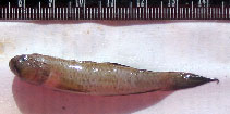 Image of Oxyurichthys microlepis (Maned goby)