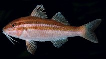 Image of Parupeneus biaculeatus (Pointed goatfish)