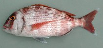 Image of Pagrus pagrus (Red porgy)