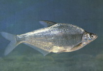 Image of Parabramis pekinensis (White amur bream)