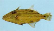 Image of Paramonacanthus pusillus (Faintstripe filefish)