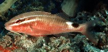 Image of Parupeneus rubescens (Rosy goatfish)