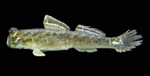 Image of Periophthalmus minutus (Minute mudskipper)