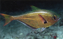 Image of Pempheris oualensis (Blackspot sweeper)