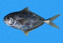 Image of Peprilus snyderi (Salema butterfish)