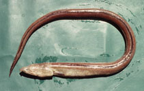 Image of Pisodonophis cancrivorus (Longfin snake-eel)