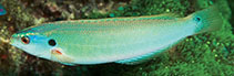 Image of Pseudocoris bleekeri (Philippines wrasse)