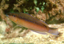 Image of Pseudochromis omanensis