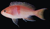 Image of Pseudanthias rubrizonatus (Red-belted anthias)