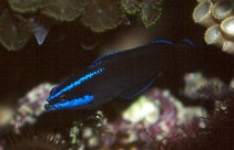 Image of Pseudochromis springeri (Blue-striped dottyback)