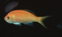 Image of Pseudanthias thompsoni (Hawaiian anthias)