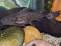 Image of Pterodoras granulosus (Granulated catfish)