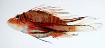 Image of Pterois lunulata (Luna lion fish)