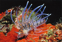 Image of Pterois volitans (Red lionfish)