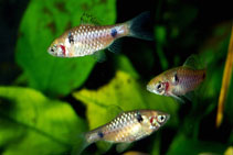 Image of Pethia cumingii (Two spot barb)
