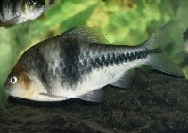 Image of Barbodes lateristriga (Spanner barb)