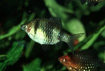 Image of Pethia nigrofasciata (Black ruby barb)