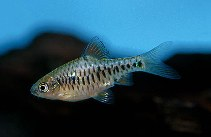 Image of Oliotius oligolepis (Checkered barb)