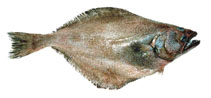 Image of Atheresthes evermanni (Kamchatka flounder)