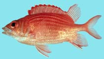 Image of Sargocentron tiereoides (Pink squirrelfish)