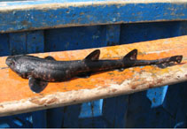 Image of Schroederichthys chilensis (Redspotted catshark)