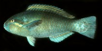 Image of Scarus dimidiatus (Yellowbarred parrotfish)