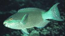 Image of Scarus frenatus (Bridled parrotfish)
