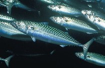 Image of Scomber scombrus (Atlantic mackerel)