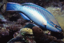 Image of Scarus taeniopterus (Princess parrotfish)
