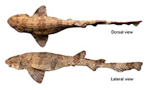 Image of Scyliorhinus ugoi (Dark freckled catshark)