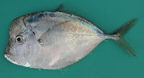 Image of Selene dorsalis (African moonfish)