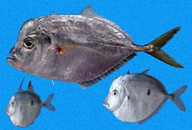 Image of Selene peruviana (Peruvian moonfish)