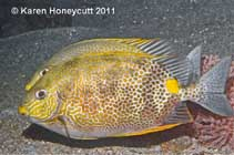 Image of Siganus guttatus (Orange-spotted spinefoot)