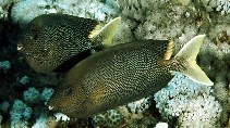 Image of Siganus stellatus (Brown-spotted spinefoot)