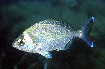 Image of Spondyliosoma cantharus (Black seabream)