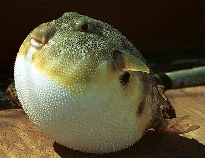 Image of Sphoeroides maculatus (Northern puffer)