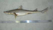 Image of Squalus griffini (Northern spiny dogfish)