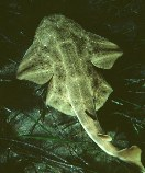 Image of Squatina squatina (Angelshark)