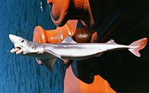 Image of Squalus suckleyi (Pacific spiny dogfish)