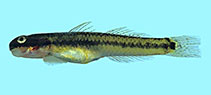Image of Stiphodon elegans