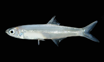 Image of Stolephorus indicus (Indian anchovy)