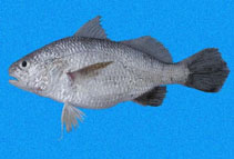 Image of Stellifer mancorensis (Smooth stardrum)