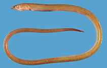 Image of Suculentophichthus nasus (Red Sea flappy snake eel)