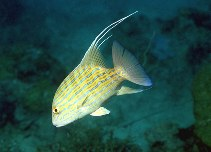 Image of Symphorus nematophorus (Chinamanfish)