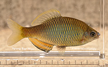 Image of Tanakia latimarginata