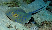 Image of Taeniura lymma (Ribbontail stingray)