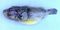Image of Pao baileyi (Hairy puffer)