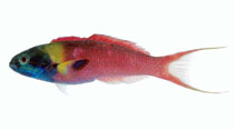 Image of Thalassoma amblycephalum (Bluntheaded wrasse)