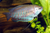 Image of Trichogaster labiosa (Thick lipped gourami)